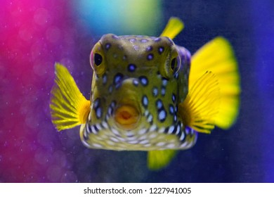 Underwater view of a spotted yellow boxfish (Ostracion Cubicus)