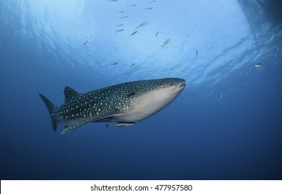 Underwater view of Whale shark swimming near the surface in Cenderawasih Bay, West Papua, Indonesia.
