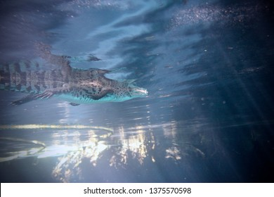Underwater view of a young Crocodile. Scuba Diving with a Crocodile.
