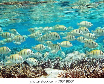 Underwater wold with a school of Convict Surgeonfishes (Convict Tang)