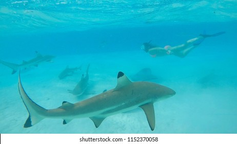 UNDERWATER: Woman snorkeling in turquoise ocean swims behind blacktip sharks. Adventurous female tourist dives in the emerald sea with friendly sharks. Girl in bikini swimming with exotic wildlife.