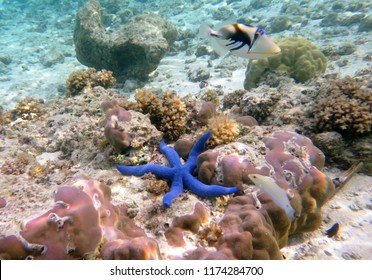 Underwater world with corals and a blue sea star. Guam, Mariana Islands, USA