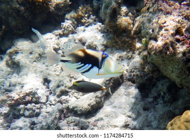 Underwater world with corals and Picasso fish. Guam, Mariana Islands, USA