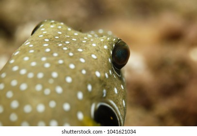 underwater world detail - close up of an yellow white spotted puffer fish with huge goggling eye swimming in clear water with natural sunlight