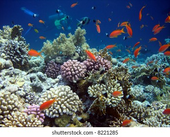 Underwater world. Diver and Coral fishes of Red sea.  Egypt