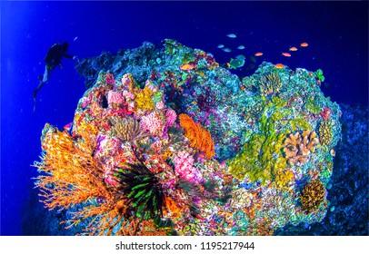 Underwater world landscape. Diver underwater coral reef scene. Underwater world coral fishes with diver underwater.