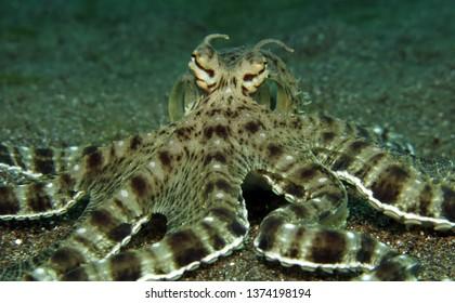 Underwater world - mimic octopus. Lembeh strait, Indonesia.