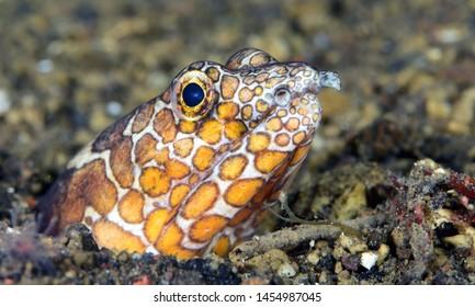 Underwater world - Napoleon Snake Eel - Ophichthus bonaparti. Diving and underwater macro photography. Tulamben, Bali, Indonesia.