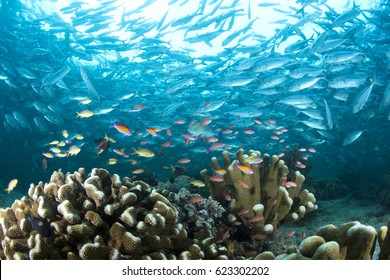 Underwater world of sipadan island . Marine life have a colourful with school of Trevallies .Sipadan Island ,Malaysia