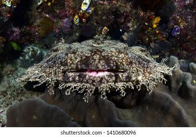 Underwater world - Tasselled wobbegong - Eucrossorhinus dasypogon. Diving and underwater photography. Raja Ampat, Indonesia.