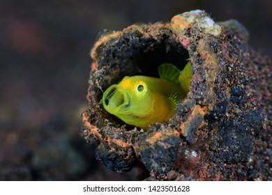 Underwater world - Yellow pygmy-goby - Lubricogobius exiguus. Diving, macro photography. Tulamben, Bali, Indonesia.