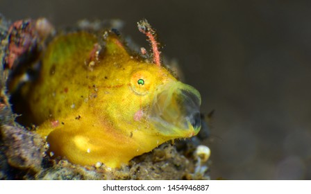 Underwater world - yellow tiny frogfish. Diving in Bali. Super macro photography.