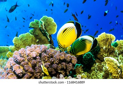 Underwater yellow coral fishes view