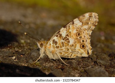 Under-wing view of a Painted Lady (Vanessa cardui) butterfly at rest during sunset.