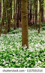 Underwood, Misk Hills, Nottinghamshire, UK.  Flowering wild Ransom Wild garlic (Allium ursinum) flowering in an ancient English deciduous woodland.