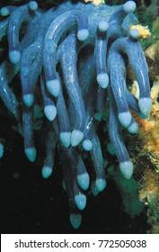 Undescribed ascidians, Culion Island, Philippines.