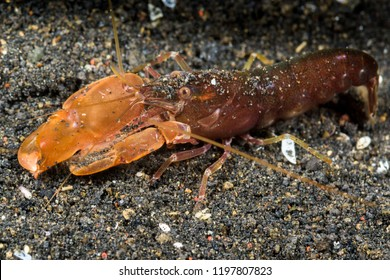 undescribed snaping shrimp