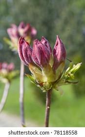 Undeveloped bud red azaleas