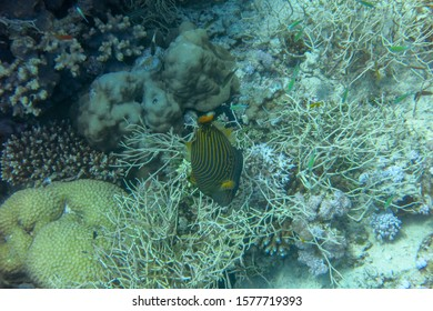 Undulate Triggerfish, also known as the Orangelined Triggerfish has an attractive, emerald-green body with yellow-orange vertical stripes. Orangetailed Triggerfish nibbles hard coral in the Bali Sea.