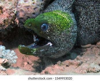 Undulated Moray Eel (Gymnothorax undulatus)