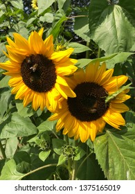 Unedited Armenian sunflowers with bees.