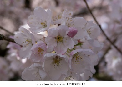 Unedited Cherry Blossom on a tree on a sunny spring day