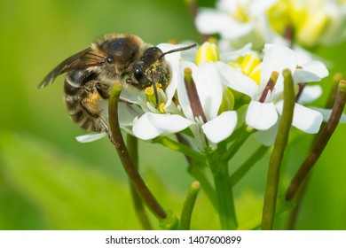 An Unequal Cellophane Bee is collecting nectar from a Garlic Mustart flower. Taylor Creek Park, Toronto, Ontario, Canada.