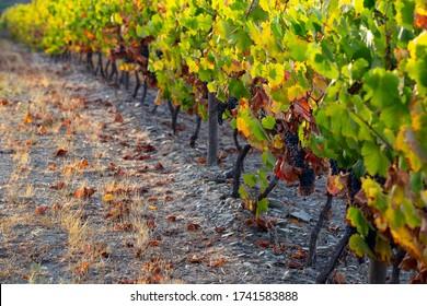 UNESCO Weltkulturerbe, Trauben aus dem Douro-Tal endlose Linien von Weinbergen, in Peso da Regua, Vila Real, Portugal.
