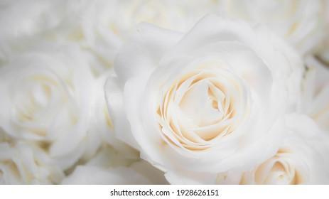 unfocused blurred white roses background