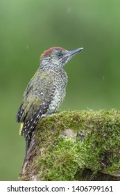 Unforgettable encounter in the woodland, the European green woodpecker (Picus virdis)