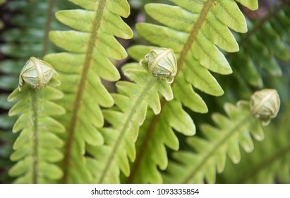 Unfurling fern leaves growing uncultivated in the Mt. Cargill forest in Dunedin, New Zealand