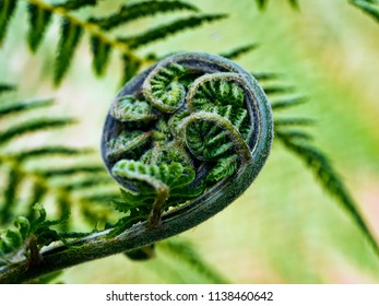 Unfurling frond of tree fern