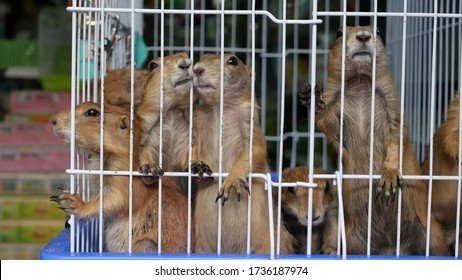 Unhappy cute prairie dog cub suffering, cage on market. Pets for sale. Depressed groundhog asking for food. Funny paws looking for help. Animals standing behind bars. Caged hog family with sad eyes