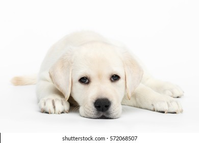 Unhappy Labrador puppy Lying and bored on white background, front view