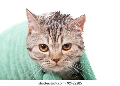 unhappy wet cat in green towel