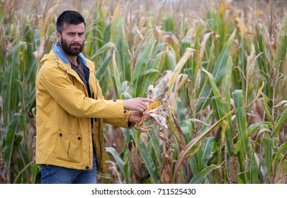 Unhappy young farmer showing disease on corn cob in field in harvest time