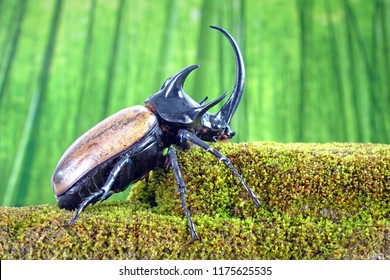 Unicorn beetle (Eupatorus graciliconis) also known as the Five-horned rhinoceros beetle, or Hercules beetles. Famous exotic pets form Thailand