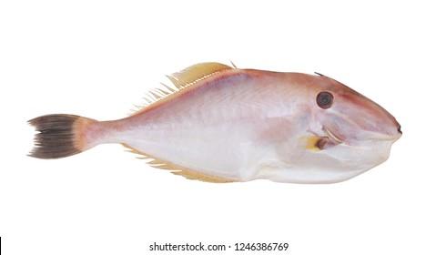 Unicorn leatherjacket fish isolated on white background, Aluter monoceros.