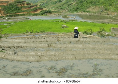 Unidentified Black Hmong tribe planting young paddy in Sapa, Vietnam