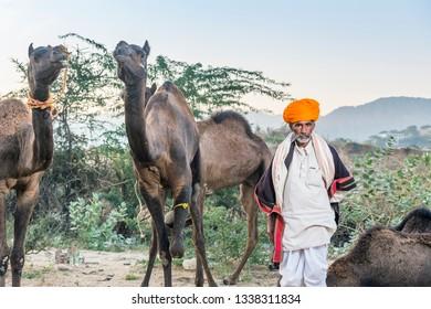 unidentified camel owner with camels at Camel fair Pushkar, Rajasthan, India on  17 november 2018