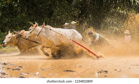 An unidentified jockey steers two bulls across the muddy paddy fields in the bull race of the 'Pacu Jawi' festival in Tanah Datar, West Sumatera