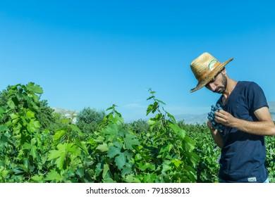 Unidentified man cuts bunch of grapes in vineyard.Uzumlu,Erzincan,Turkey.07 September 2014