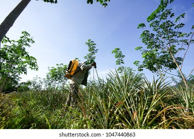 Unidentified name agricultural workers spraying pesticide in planting pineapple.