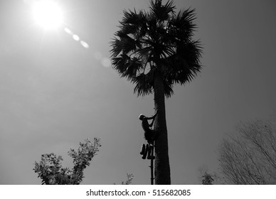 Unidentified old man climbing a sugar palm tree in Thailand