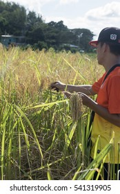 Unidentified person harvesting paddy. Some rural area in Sabah or formally known as North Borneo, Malaysia still practicing traditional method of harvesting paddy by hand. December 2016