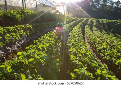 Unidentified woman who pick strawberry in strawberry farm