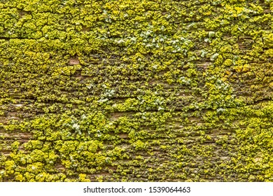 uniform texture of yellow-green lichen. nature texture of yellow and green lichen on wood. uniform, homogeneous natural texture of yellow-green lichen.