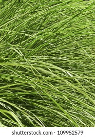 Uniformity of summer growth: Closeup of long green ornamental grass, for background or motif