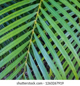 Unique background made of crossed fronds of areca palm tree close up.  Tropical plant in green.