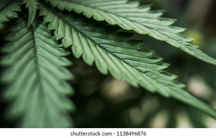 unique beautiful leaves of marijuana cannabis plant large and detail background